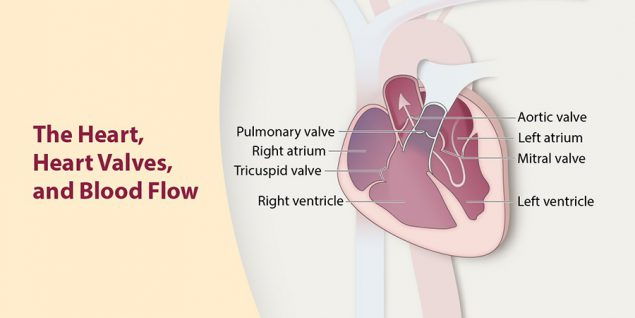 The heart, heart valves, and blood flow.
