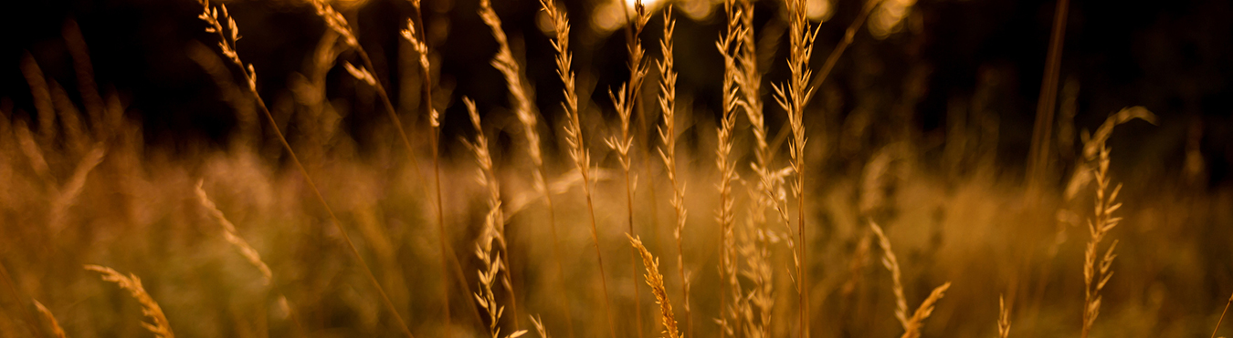 A field of Golden Hour, Grass and Hay