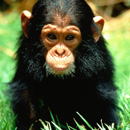 Image of a young Chimpanzee