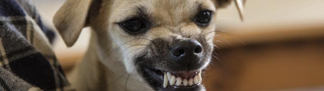 close up image dog growling