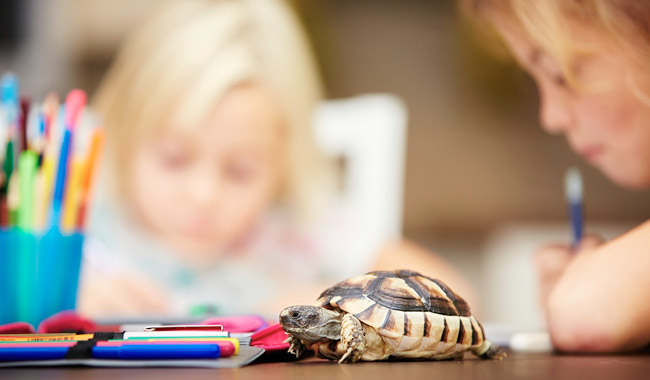 a small turtle on a school desk, with child in background