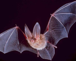 A big-eared townsend bat flies in the night.