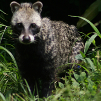 A civet looks out of undergrowth.