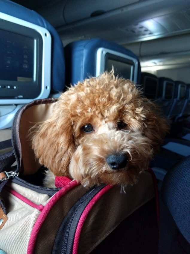 A small, curly-haired, light brown dog sitting in a dog carrier backpack with his head sticking out on the seat of an airplane
