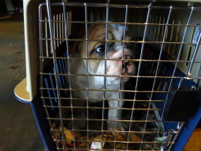 A young bulldog puppy standing in a blue and white dog travel crate