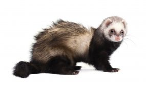 photo of a ferret