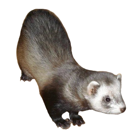 A young ferret.