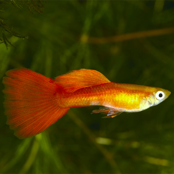 A golden-orange guppy