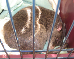 A Gambian pouch rat curled up and asleep in a cage.