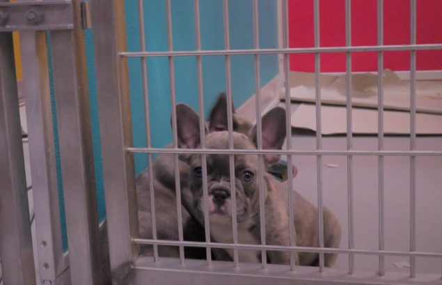 A lavender-colored French bulldog puppy in its holding cage