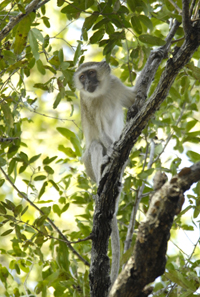 A vervet monkey rests amid branches.