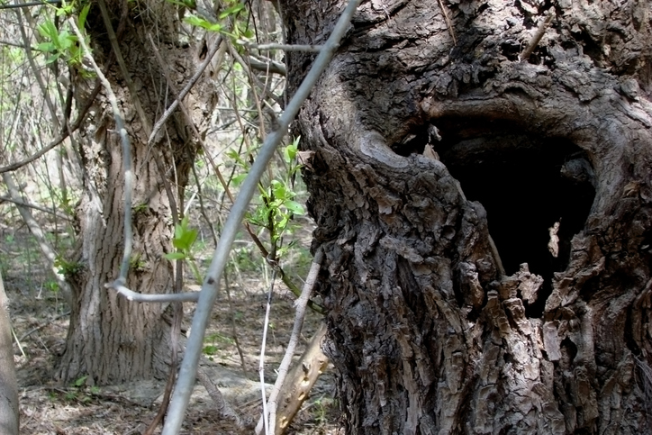 Old tree with a deep hollow