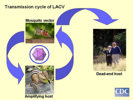 La Crosse virus transmission cycle illustrating passage of virus from mosquito to small mammals which amplify the virus as well as incidental infection of humans