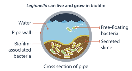 Legionella can live and grow in biofilm. Cross section of pipe; water, pipe wall, biofilm-associated bacteria, free-floating bacteria, and secreted slime.