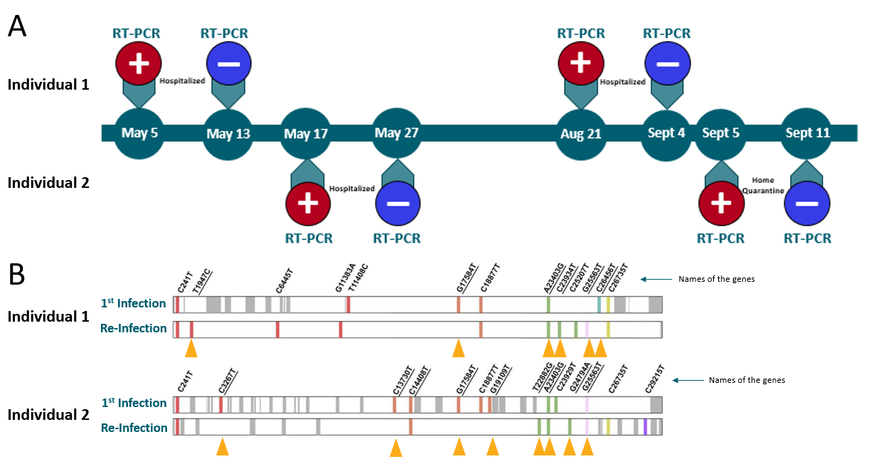A: Timeline of RT-PCR test results in two young asymptomatic HCWs re-infected with SAR-CoV-2. B: Genomes of the first infection and re-infection for both. Important genetic differences are shown by yellow arrows.