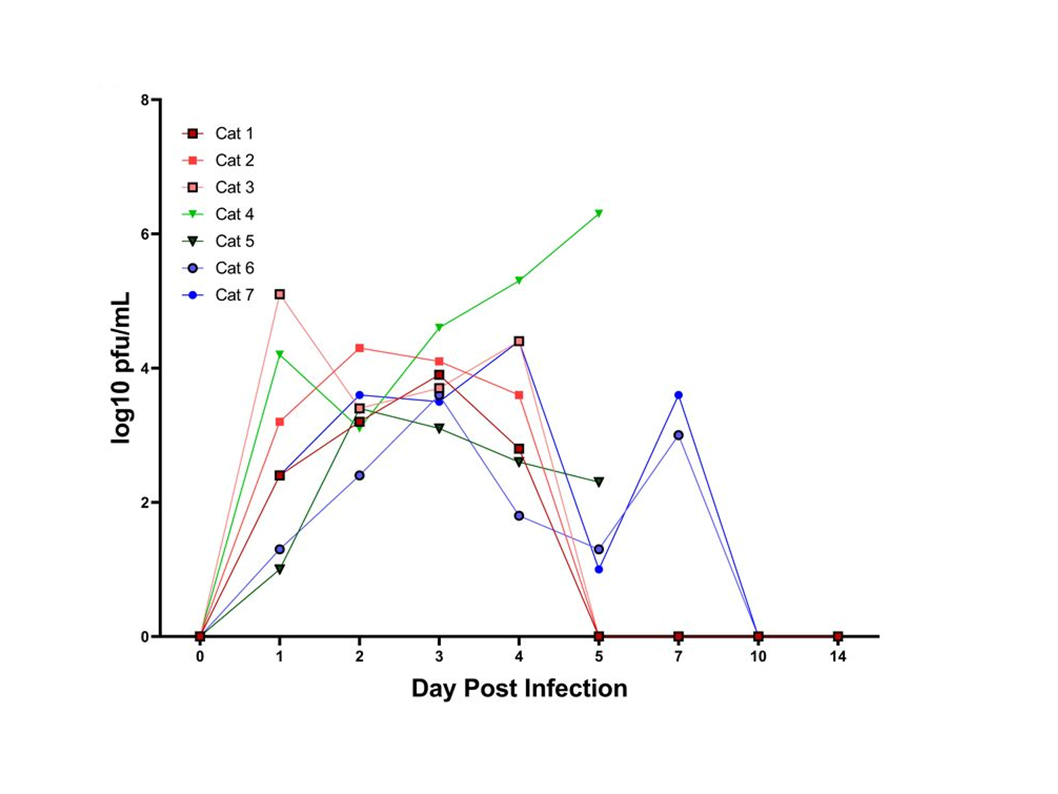 Shedding of SARS-CoV-2 detected by plaque assay from nasal secretions of cats.