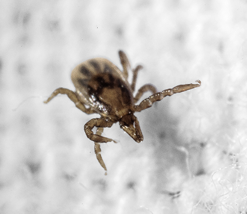 "A tick tries to avoid contact with permethrin-treated fabric in the laboratory. This behavior is called ""hot-footing""."