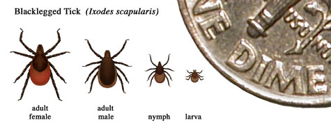 Relative sized of several ticks at different life stages.