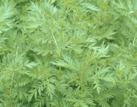 Picture of a sweet wormwood plant (Artemisia annua)