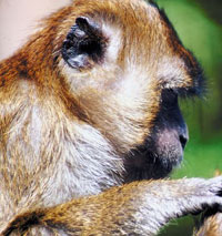 The long-tailed macaque is the natural host of P. knowlesi.  Courtesy: Jupiter Images.
