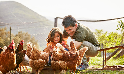 Dad and daughter feeding chickens
