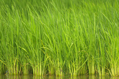 image of grass growing in water