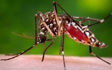The figure above is a photograph of an Aedes aegypti mosquito on human flesh.