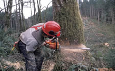 The figure above is a photograph showing a man using a chainsaw to cut down a tree.