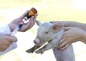 Women holding piglet for antibiotic shot