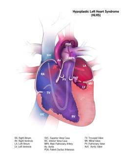 Fetus Heart Diagram