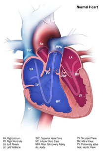 Picture of a normal heart