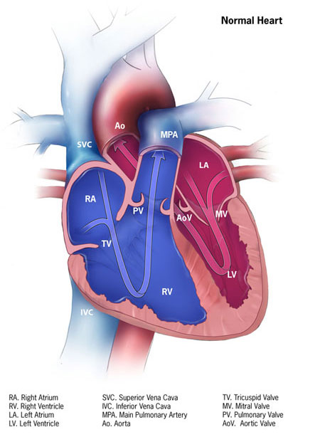 How the heart works congenital heart defects ncbddd cdc as a matter of courtesy we request that the content provider centers for disease control and prevention ccuart Choice Image