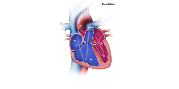 How the heart works congenital heart defects ncbddd cdc ccuart Choice Image