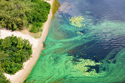 The coast on the surface of the river is covered with a pellicle of blue-green algae.
