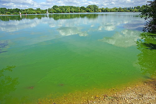"Cyanobacteria or ""blue-green"" algae, Frampton on Severn, Gloucestershire, UK"