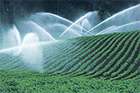 Photo of a field of spinach being irrigated.