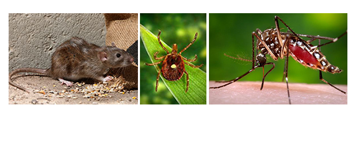 Collage of a rat, tick and mosquito