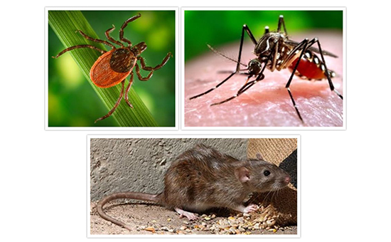 Collage of a tick, mosquito and rat.