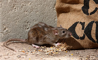 Image of a rat eating rice out of a canvas bag.