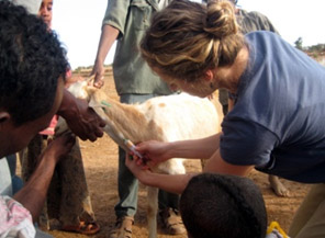Danielle Buttke takes a sample from a goat herd.