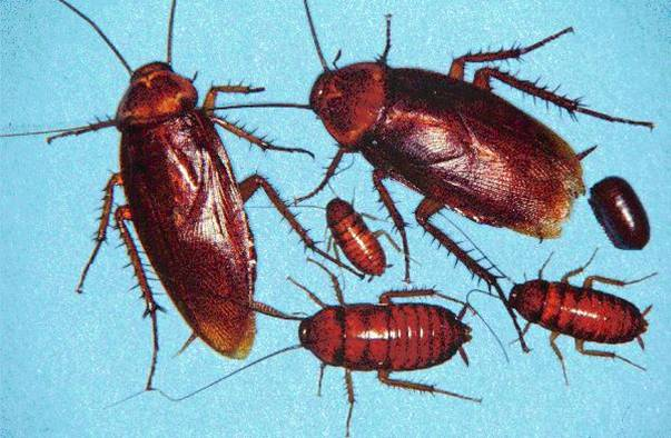 Figure 4.9. American Cockroaches, Various Stages and Ages