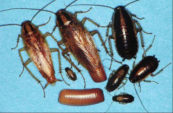 Figure 4.11. German Cockroaches, Various Stages and Ages