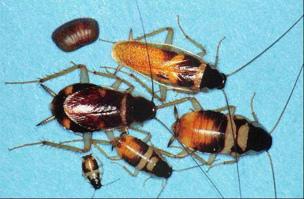 Figure 4.12. Brown-banded Cockroaches, Various Stages and Ages