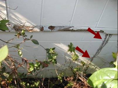 Figure 4.18. Termite Tube Extending from Ground to Wall (Red Arrows)