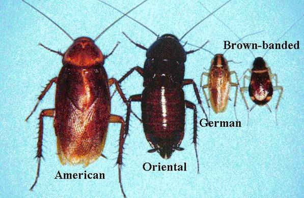 Figure 4.8. American, Oriental, German, and Brown-banded Cockroaches