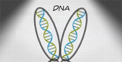 Illustration of two DNA double helixes