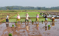 workers in rice paddy field