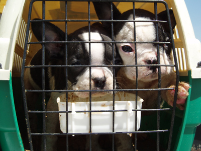 Two puppies in a crate