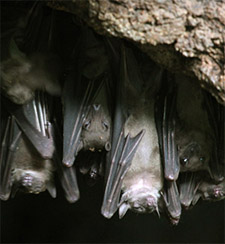 colony of fruit bats in a cave