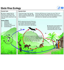 Poster detailing Ebola virus ecology and ransmission